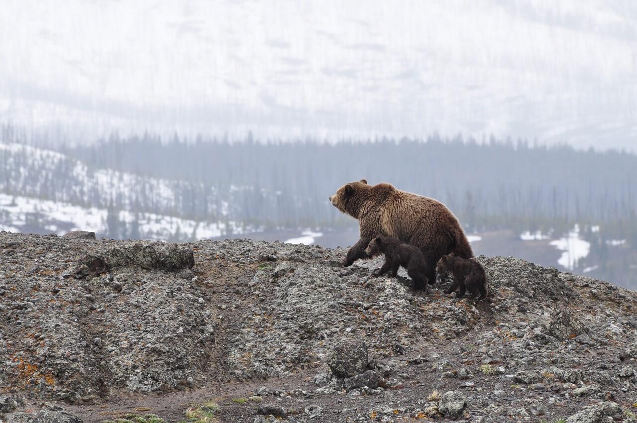 So schützt Du Dich vor Bärenangriffe