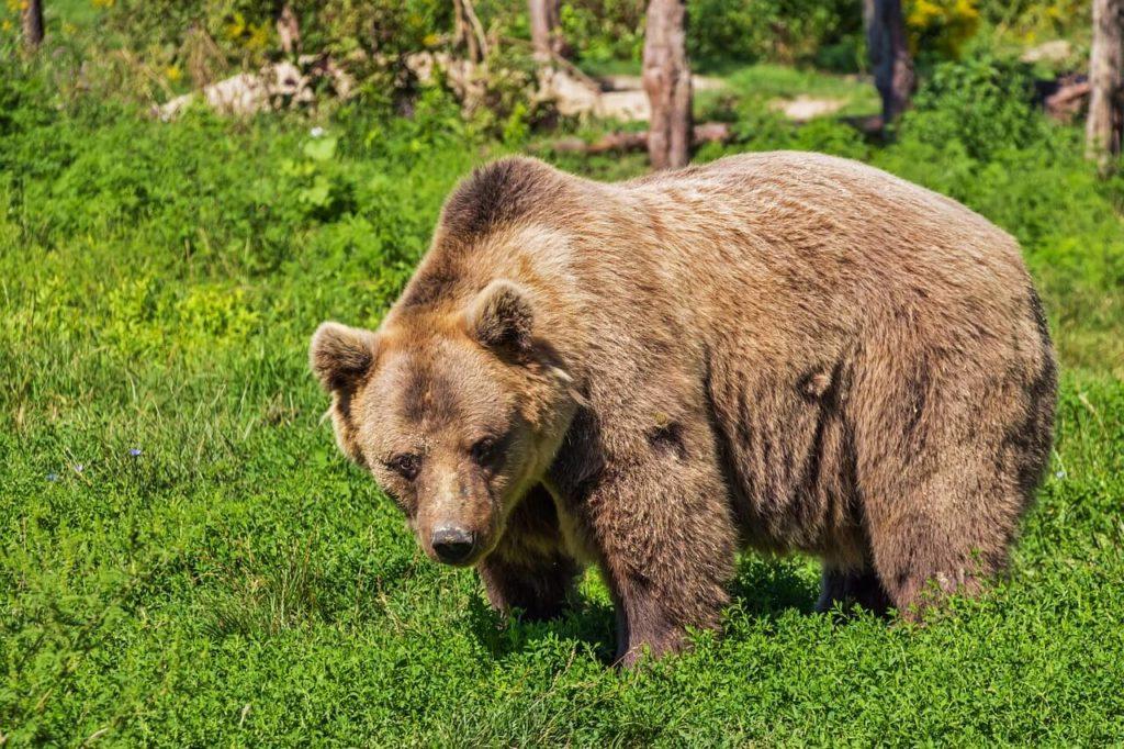 Wertvolle Tipps gegen Bärenangriffe